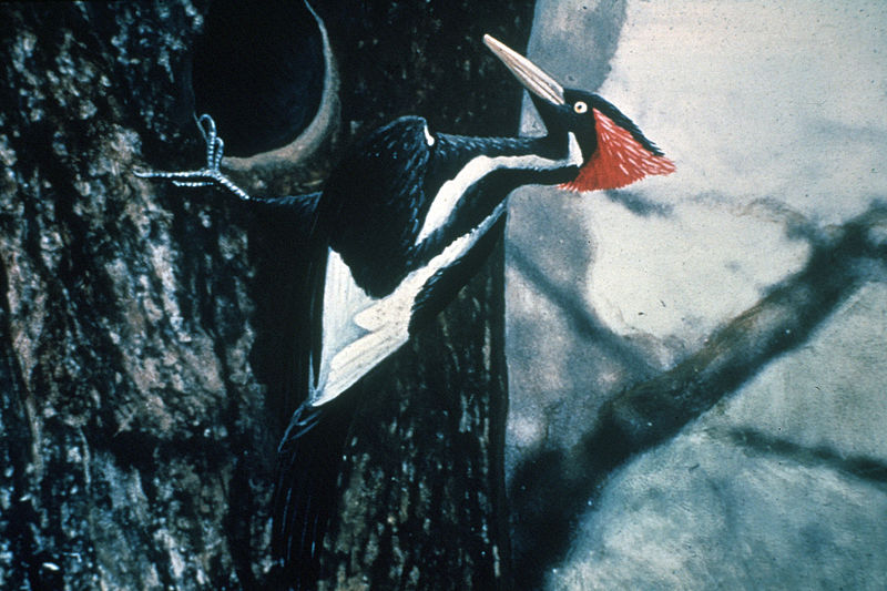 800px-Ivory-billed_Woodpecker_by_Jerry_A._Payne