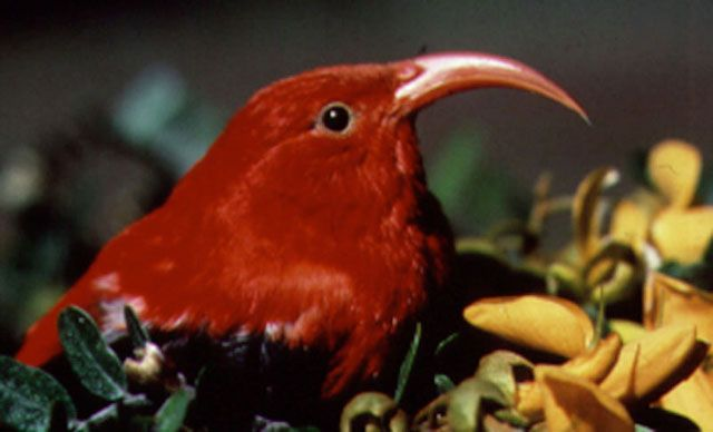 endangered bird iiwi