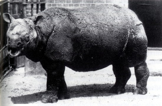 Rhinoceros_sondaicus_in_London_Zoo