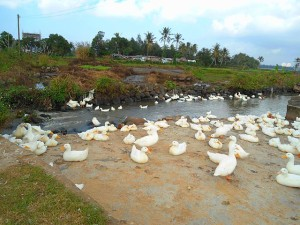 640px-Duck_farm_in_Hainan_02