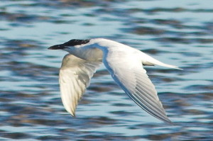 640px-Gull-billed_Tern