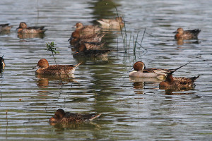 640px-NorthernPintailDucks-Vedanthangal