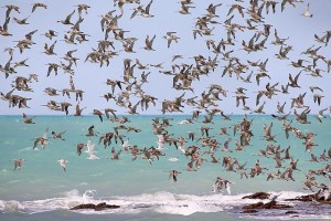 640px-Waders_in_flight_Roebuck_Bay