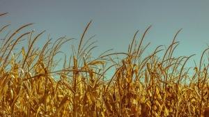 wheat-428091_1280