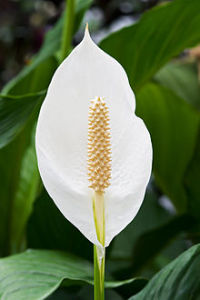 220px-Spathiphyllum_cochlearispathum_RTBG