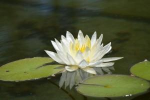 lotus-666768_1280