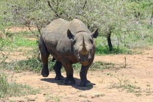 black-rhinoceros-412667_1280